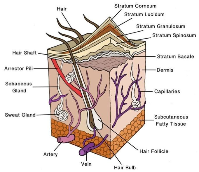 integumentary system, Human body