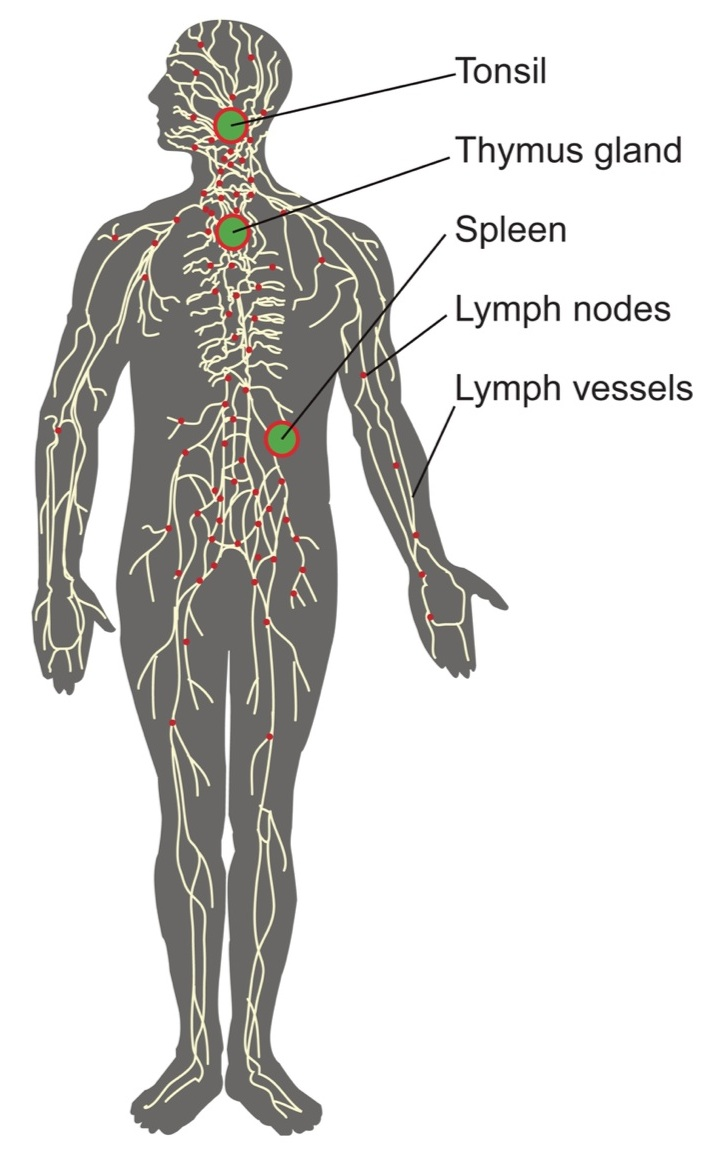 how to clear lymphatic system
