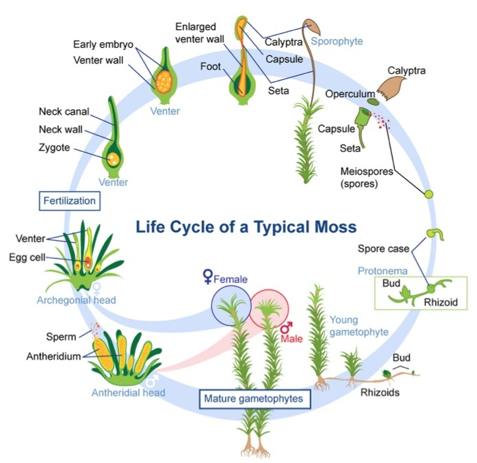 Life Cycle Of Nonvascular Plants Read Manual Guide